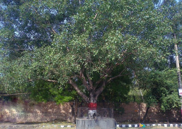 This 'Aal Maram' was replanted from inside the Temple Complex (for construction of the old Auditorium) 23 years ago