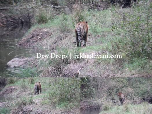 tiger leaving
